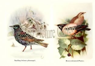 Starling & Rose-coloured Pastor